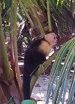 A troop of capuchin entertained, and in some cases tortured, the tourists of Manuel Antonio.