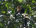 Some capuchin were less trusting of the throngs below them at Manuel Antonio