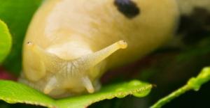 A slug eyes me eyeing him as it crosses a shrub near Tofino, BC