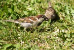 A male sparrow makes the most of someone's lost popcorn kernels