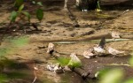 A group of sparrows flock around a small eddy in a creek