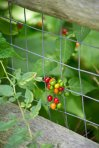 A collection of berries peek through the fence grating