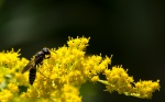 The wasp picks at the goldenrod flowers