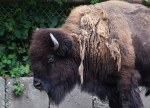 Calm, the bison keeps a wary eye on the guests