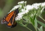 Slow to start the summer, monarchs are popping up everywhere
