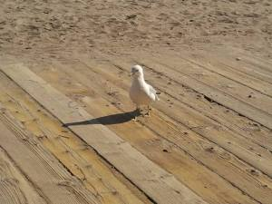 One of the myriad gulls sharing the local boardwalk