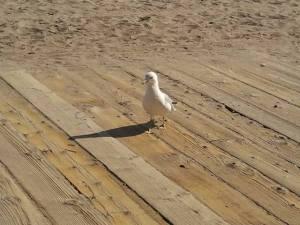One of the myriad gulls sharing the local boardwalk