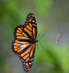 Luckily, the web seemed empty as this monarch tried desperately to break free