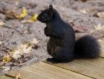 Boardwalk squirrel
