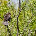 Female red-winged blackbird?