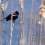 Precarious red-winged blackbird