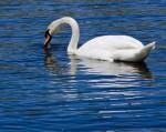Lunching swan