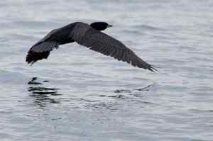 cormorant-flying-2