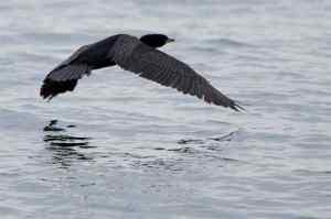cormorant-flying-2