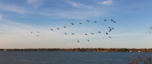 cormorants-flying-over-cross-lake