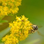 Hornet on goldenrod