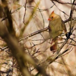 Her mate winging through the underbrush, a female cardinal rests