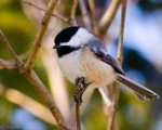 Chickadees were out in profusion