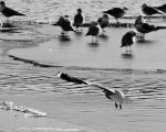Tired of its icy perch, a gull takes wing