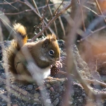 Hiding behind trees and rocks, the red squirrel goes to town on a pine cone