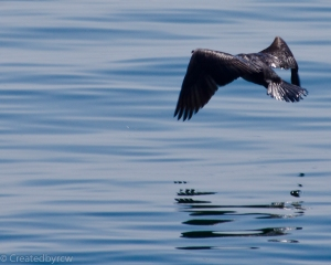 The cormorant takes wing (well, two)