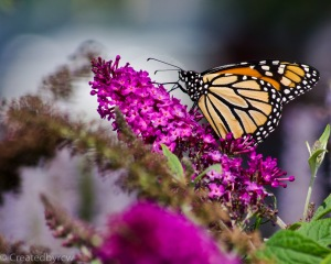 Viceroy (or is it a Monarch) samples the flowers