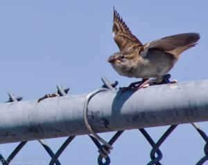 A sparrow prepares for flight