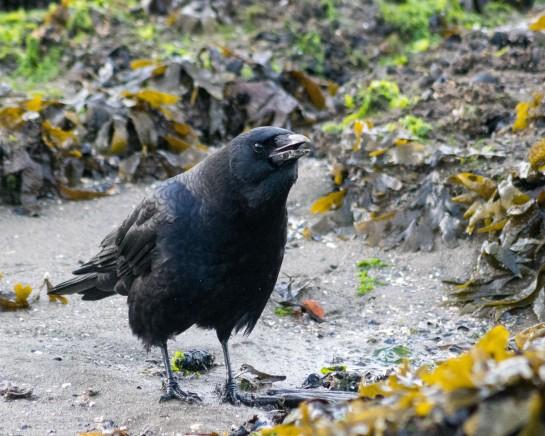 Kelp crow